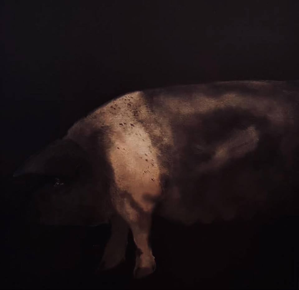 Saddle Back Pig